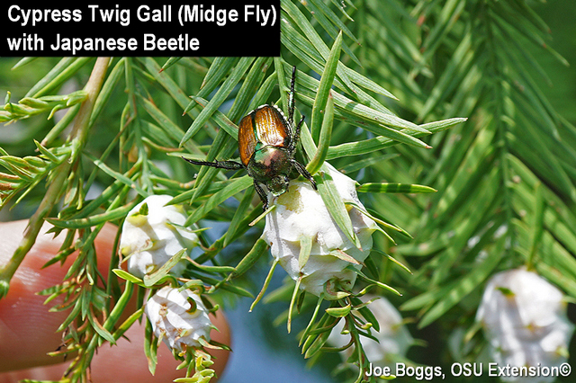 Baldcypress gall