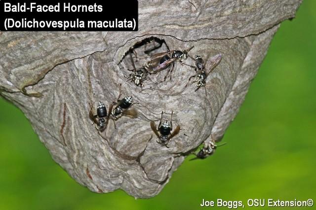 Bald-Face Hornets