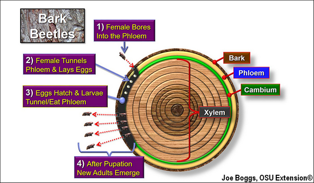 Bark Beetle