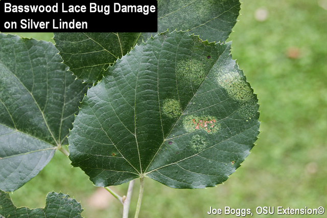 Basswood Lace Bug