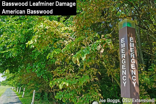 Basswood Leafminer
