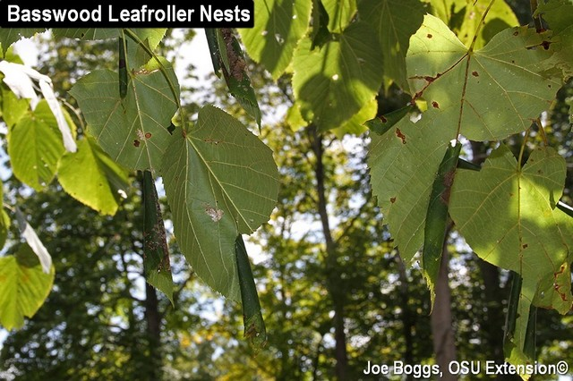 Basswood Leafroller