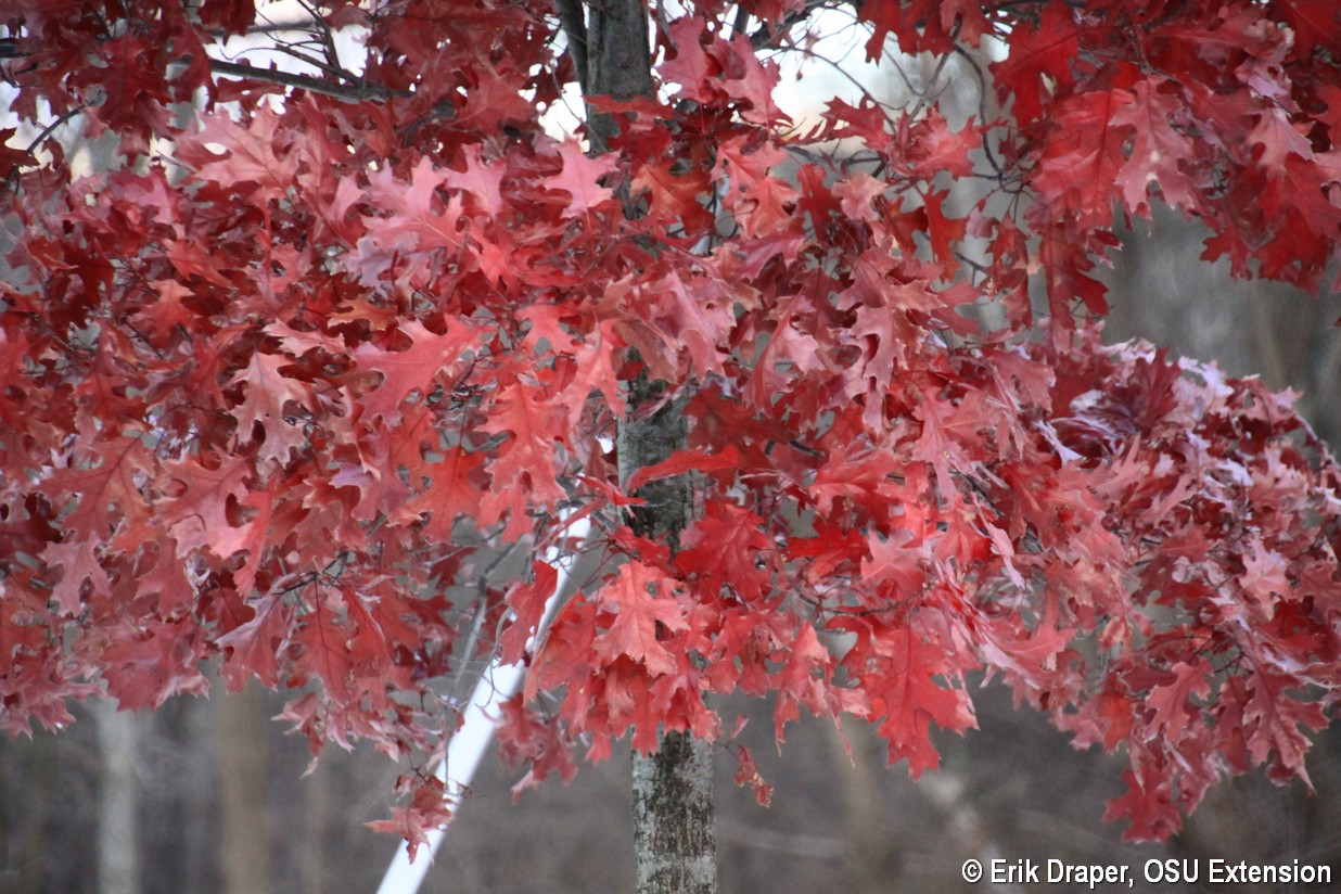 Beautiful red fall color on Pin Oak