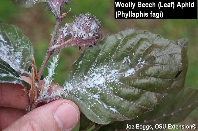 Woolly Beech Leaf Aphid