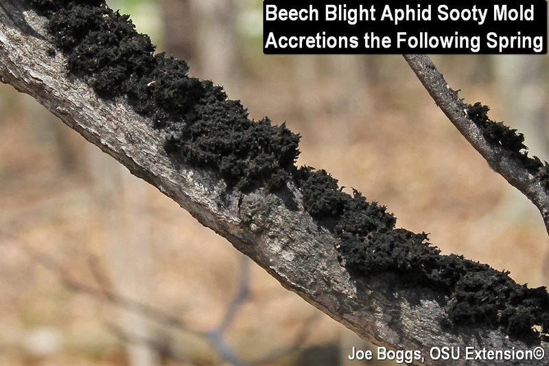 Beech Blight Aphid Sooty Mold Fungus