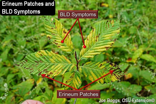 Beech Eriophyid Erineum Patch and BLD