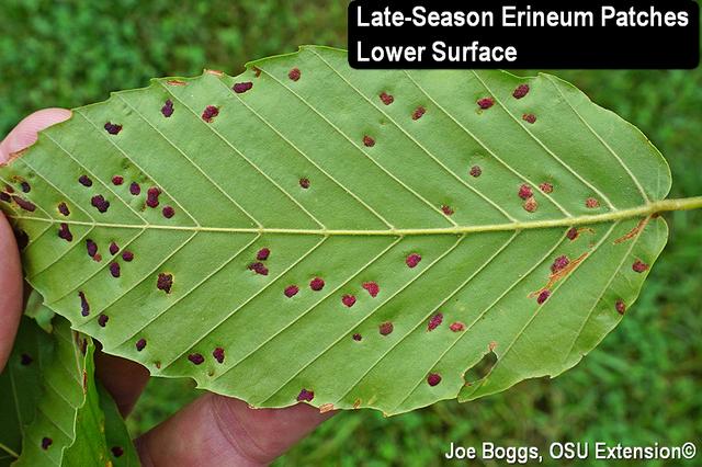 Beech Eriophyid Erineum Patch