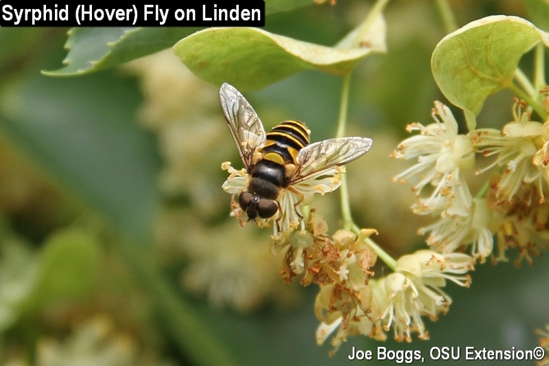 syrphid fly beneficial