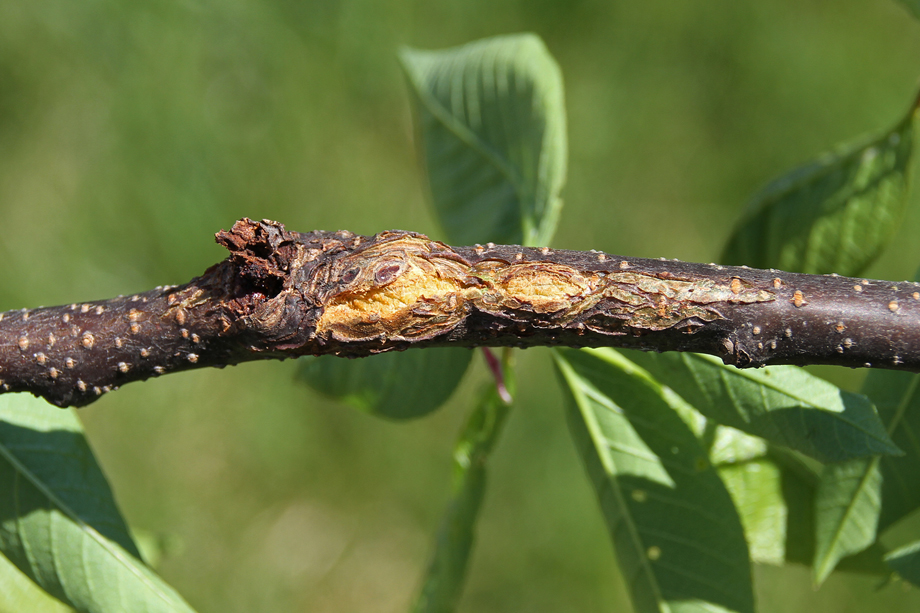 Newly Forming Black Knot Gall