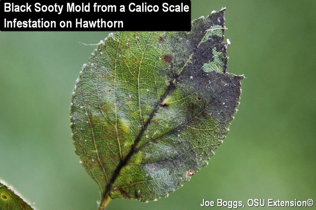 Calico Scale Black Sooty Mold