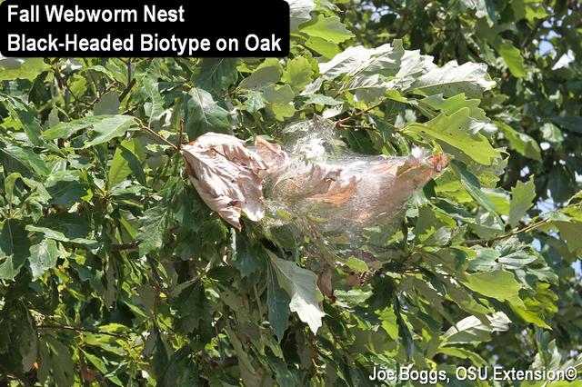 Striped Oak Webworm
