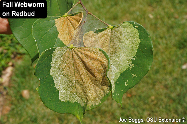 Fall Webworm