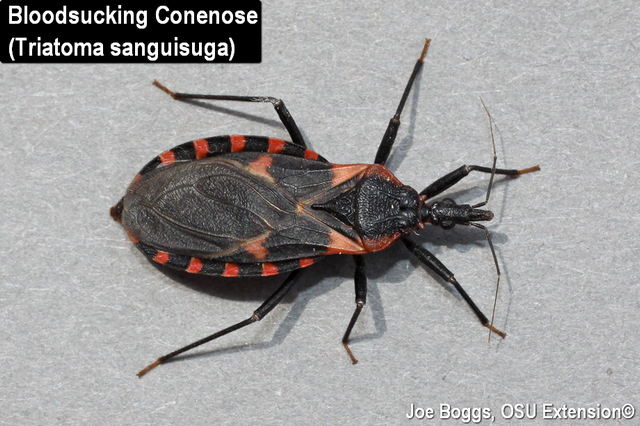 Bloodsucking Conenose