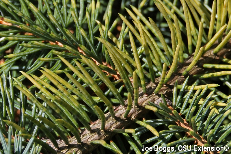 Manganese Deficiency Symptoms on Blue Spruce