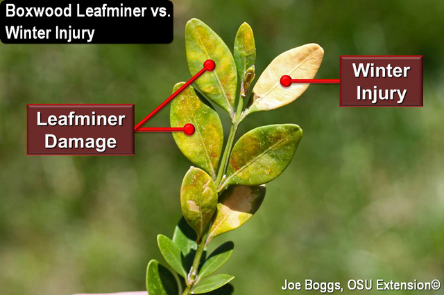 Boxwood Leafminer - Winter Injury
