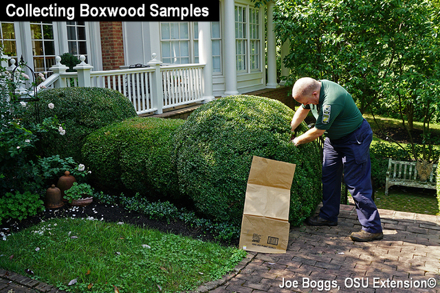 Boxwood Blight