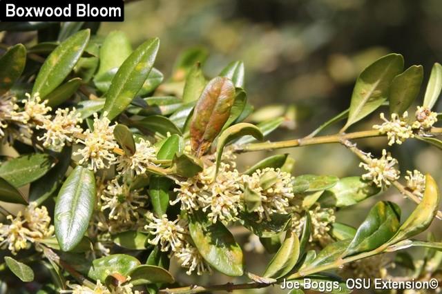 Boxwood Bloom