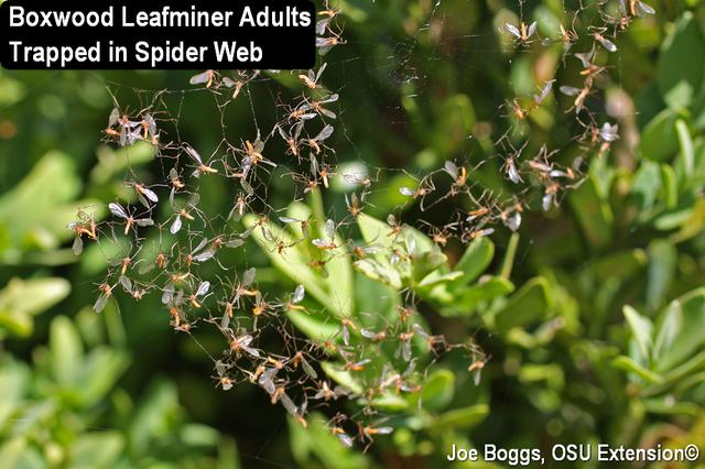 Boxwood Leafminer Adults