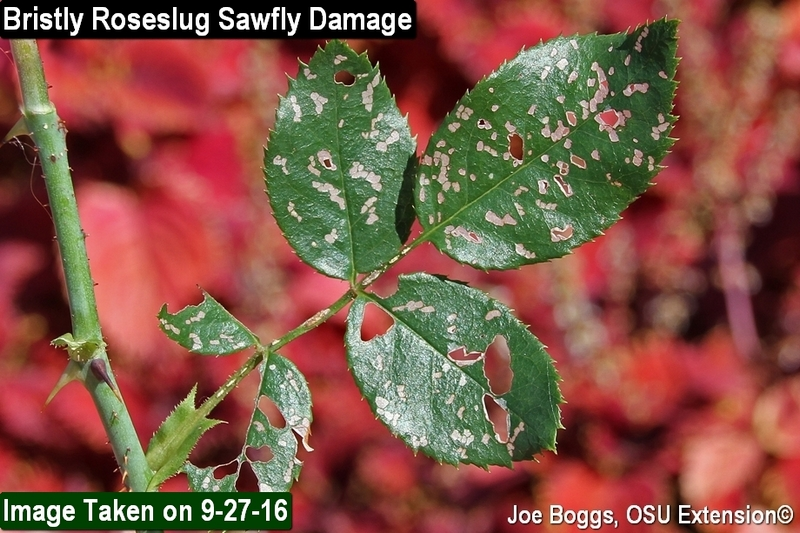 Bristly Roseslug Sawfly Damage