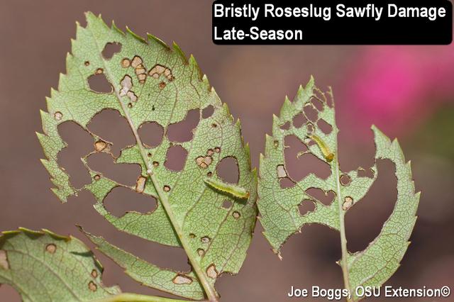 Roseslug