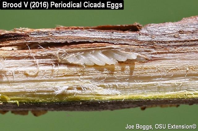 cassini periodical cicadas - photo #42