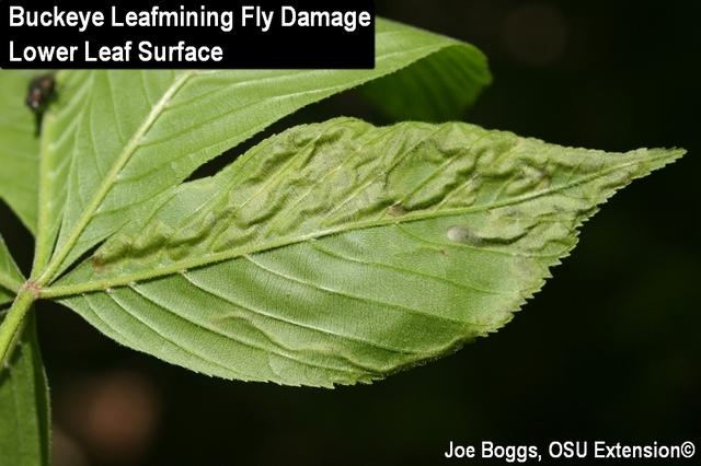 Buckeye Leafminer Fly