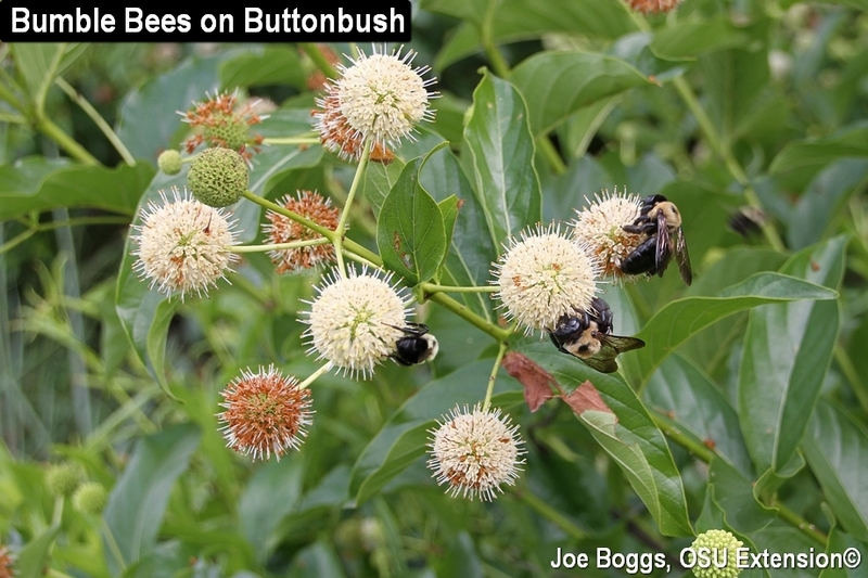 Bumble Bees on Buttonbush