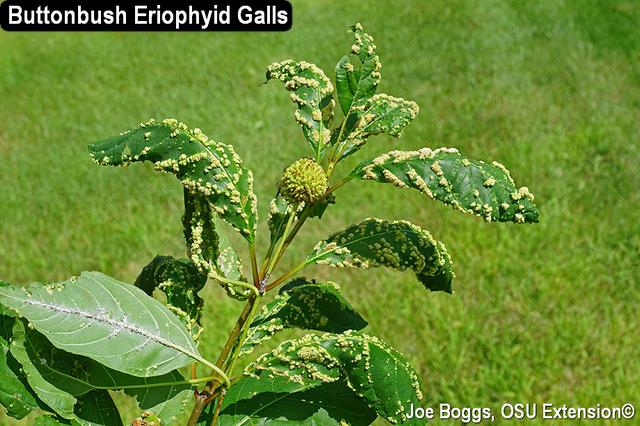 Eriophyid Mite Galls
