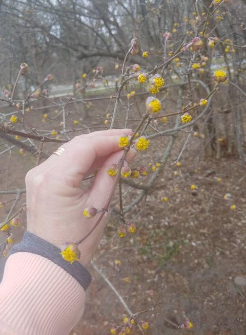 Corneliancherry Dogwood Blossoms
