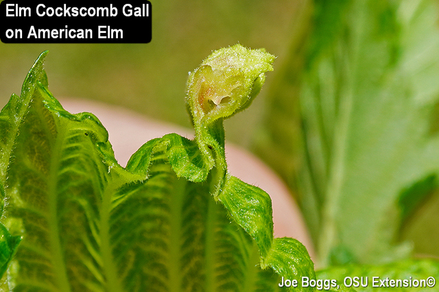 Cockscomb Gall