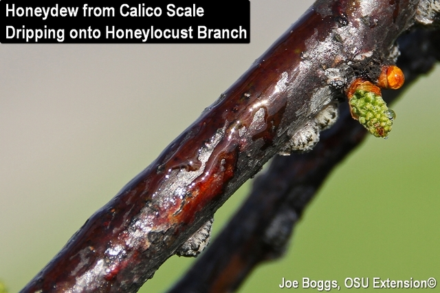 Calico Scale Honeydew on Branch
