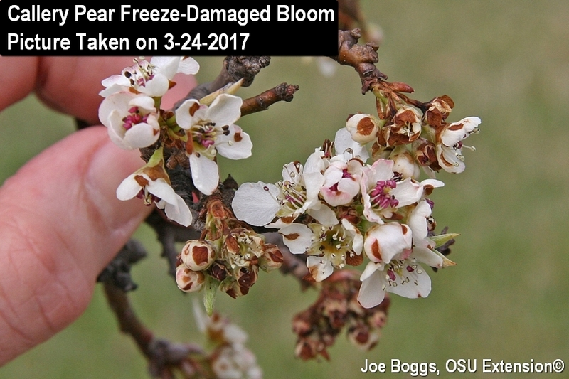 Callery Pear Freeze Damaged Blooms