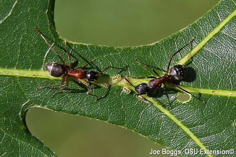 Carpenter Ant with Aphids on Oak