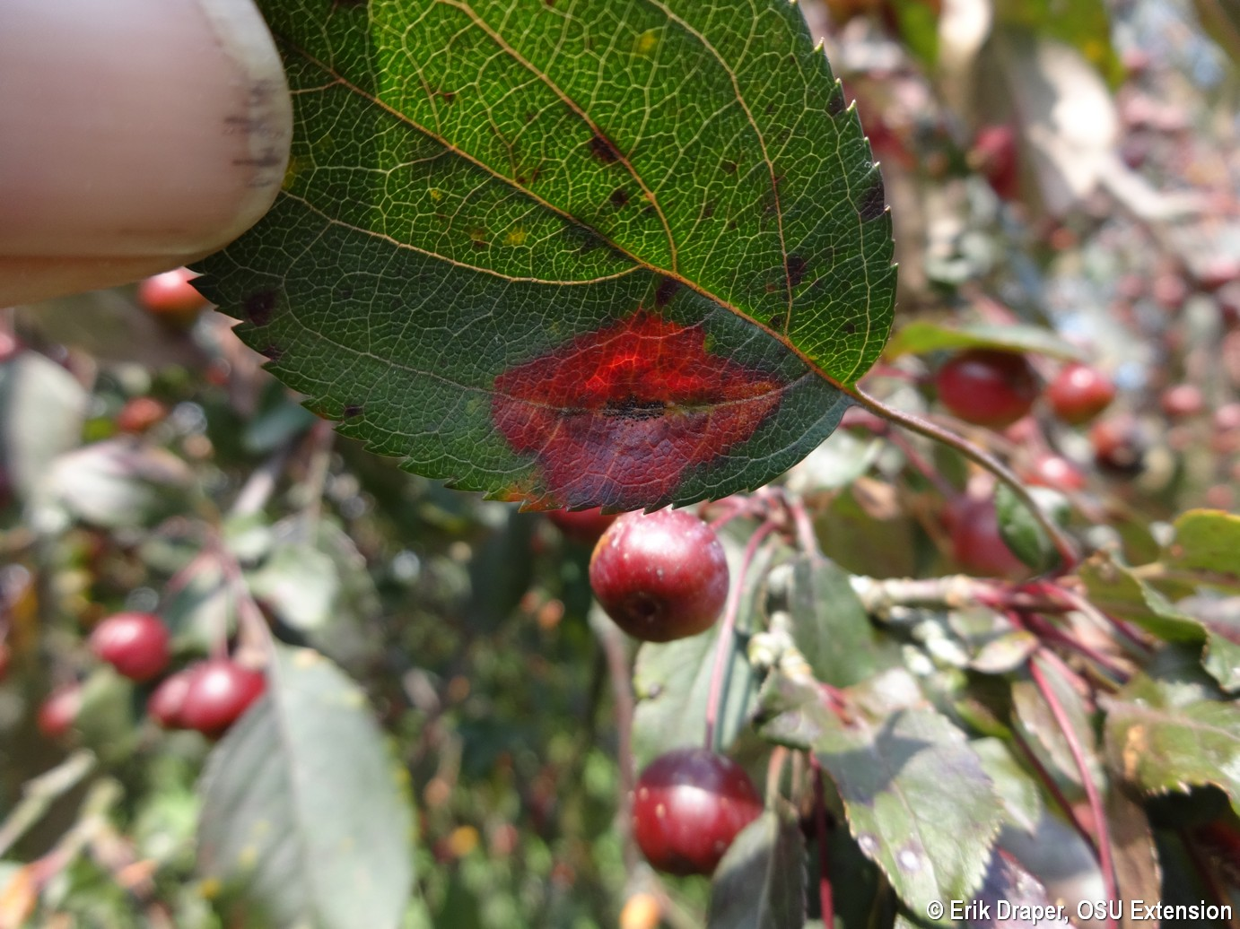 "Red ""Lipstick"" Rust lesion on 'Candymint' crabapple"