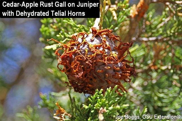 Cedar-Apple Rust Gall on Juniper with Dried Telial Horns