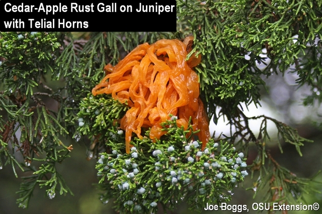 Cedar-Apple Rust Gall on Juniper