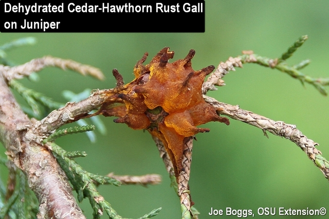 Cedar-Hawthorn Rust Dehydrated Horns