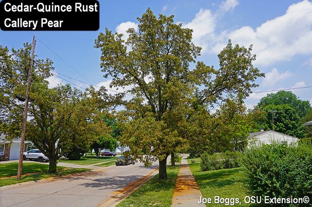 Cedar-Quince Rust