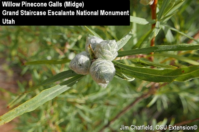 Willow Pinecone Gall