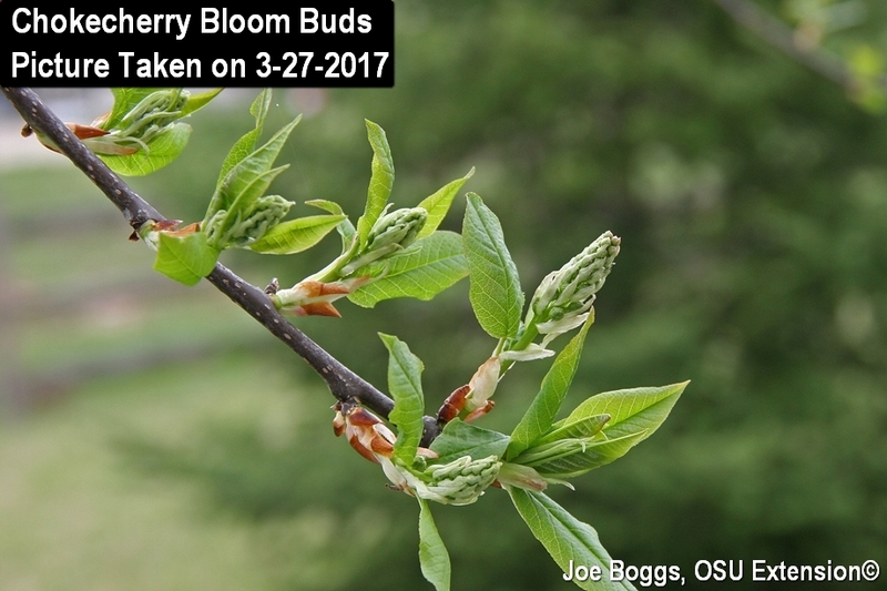 Chokecherry Bloom Buds