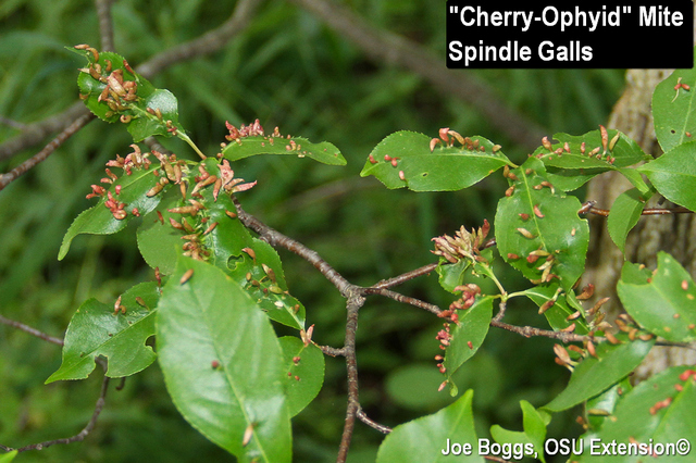 Cherry Eriophyid Galls