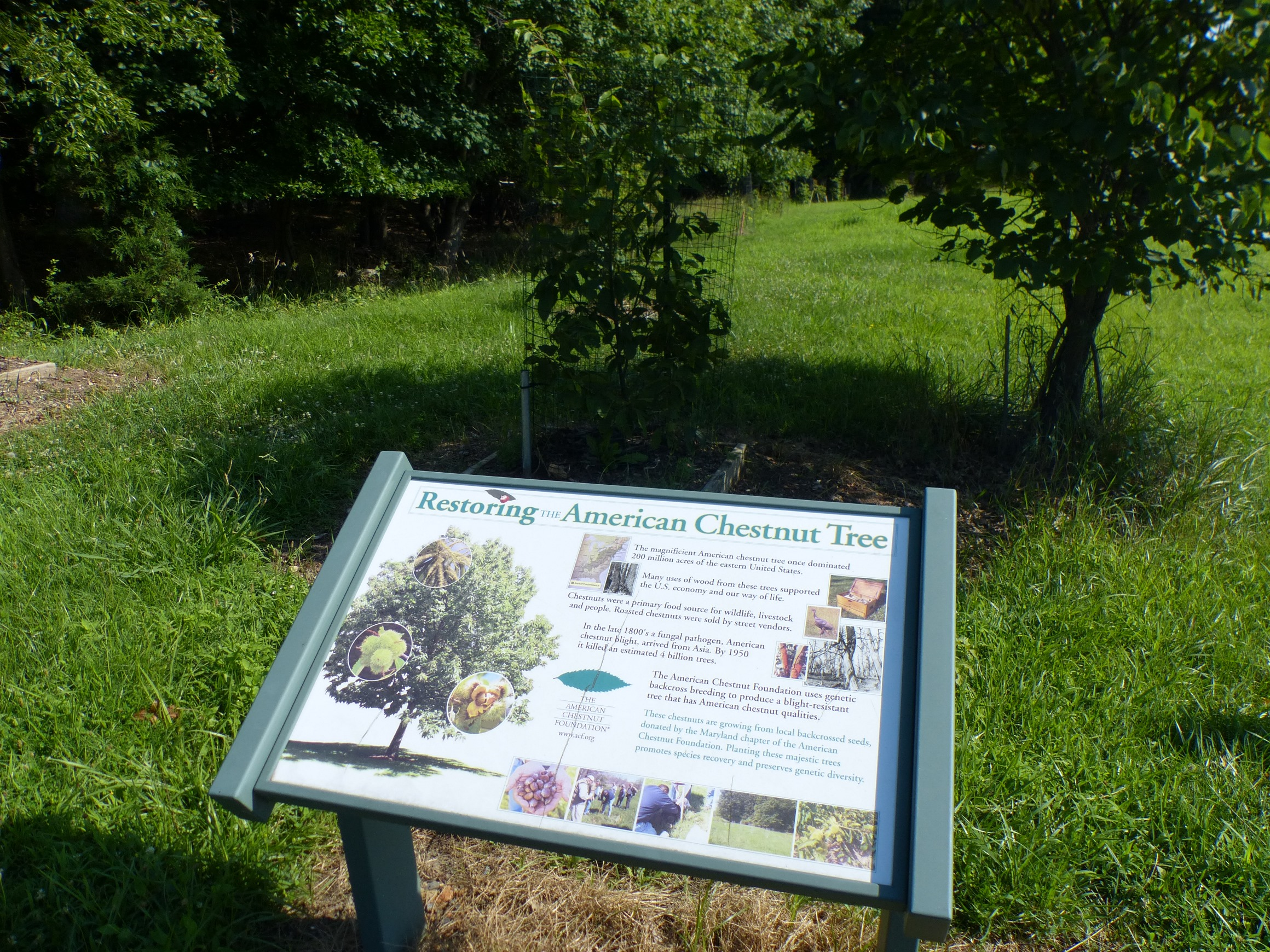 American chestnut project
