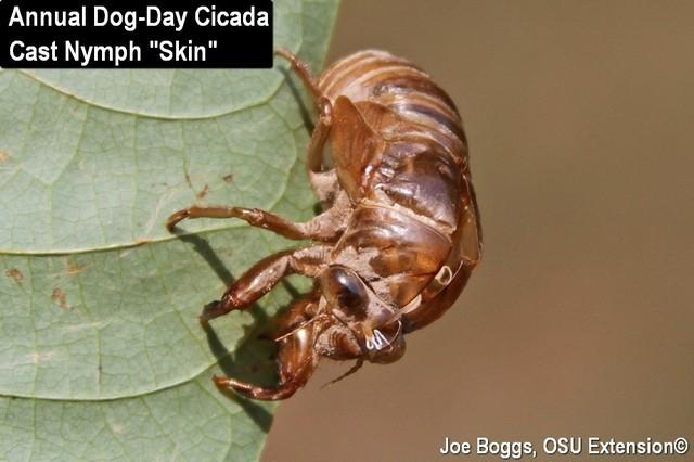 Annual Dog-Day Cicada