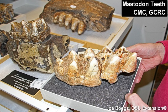 Mastodon Teeth