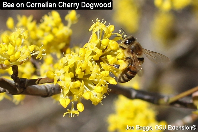Bee on Cornelian Cherry Dogwood