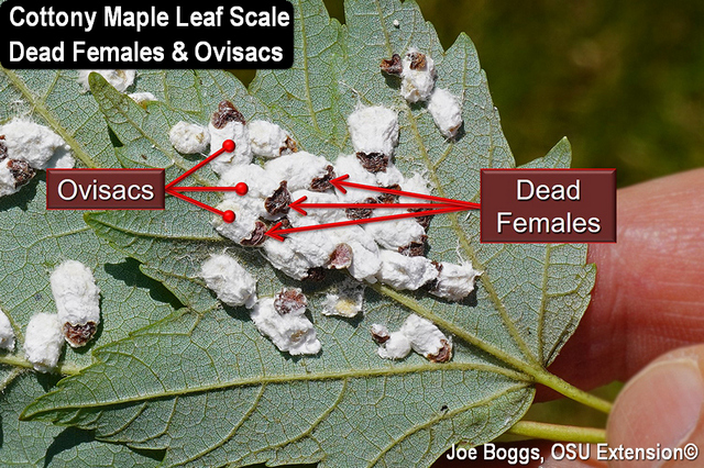 Cottony Maple Leaf Scale