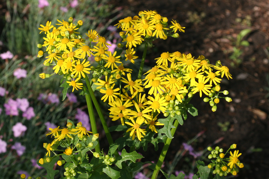 Cressleaf Groundsel - Flowers.  Image by Joe Boggs.