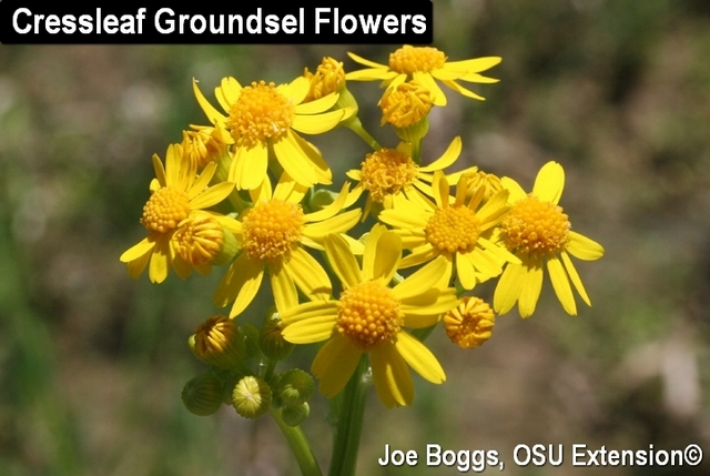 Cressleaf Groundsel