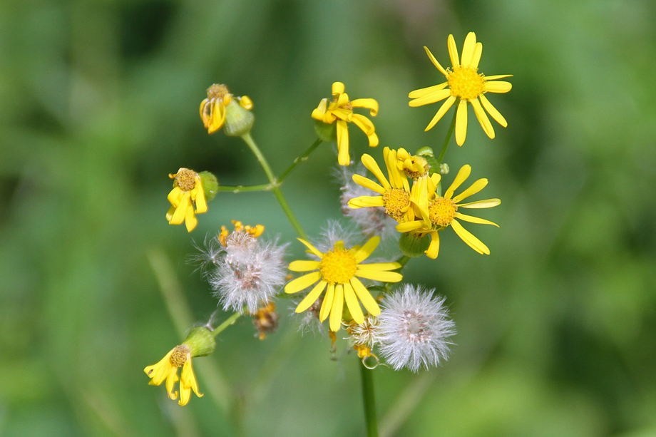 Cressleaf Groundsel Flowers - Seedheads.  Image by Joe Boggs.