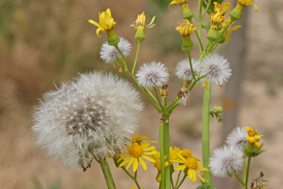Cressleaf Groundsel Seedheads w/Dandelion.  Image by Joe Boggs.